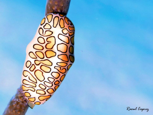 Flamingo tongue in the sky by Raoul Caprez 